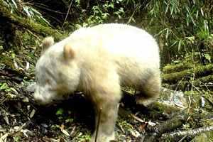 панда-альбинос