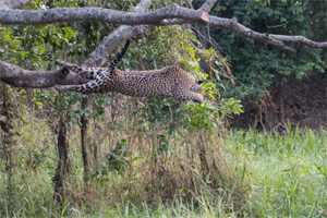 прыжок ягуара в воду