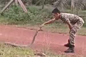 поймать королевскую кобру