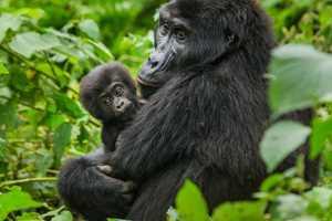 восточная горилла с малышом