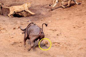 львенок уклоняется от копыт буйвола