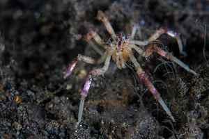 дыхание морского паука