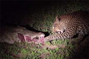 леопард ворует мясо у крокодила