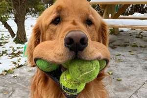 ретривер с теннисными мячами