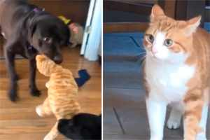 собаки рвут игрушку