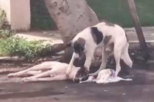 собака присматривает за сбитой собакой