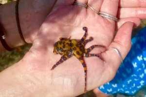 ядовитый осьминог в руках
