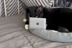 кошка за ноутбуком