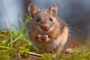 мышь и заболевания