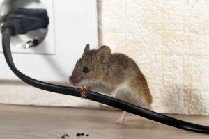 крыса грызет проводку