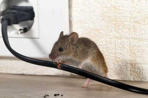 крыса грызет интернет